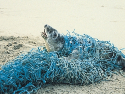 Seal caught up in net