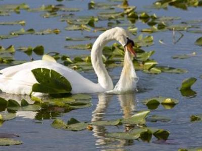 Swan choking on plastic bag